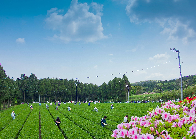 前田製茶の茶畑